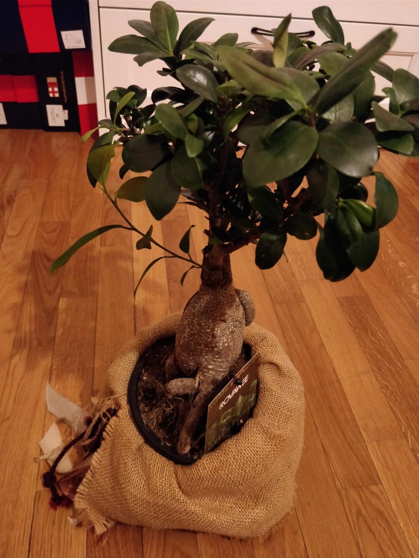 Macchie scure Ficus Img_2015
