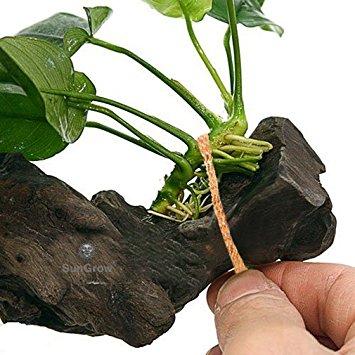 Conseils plantes faciles à entretenir Anubia10