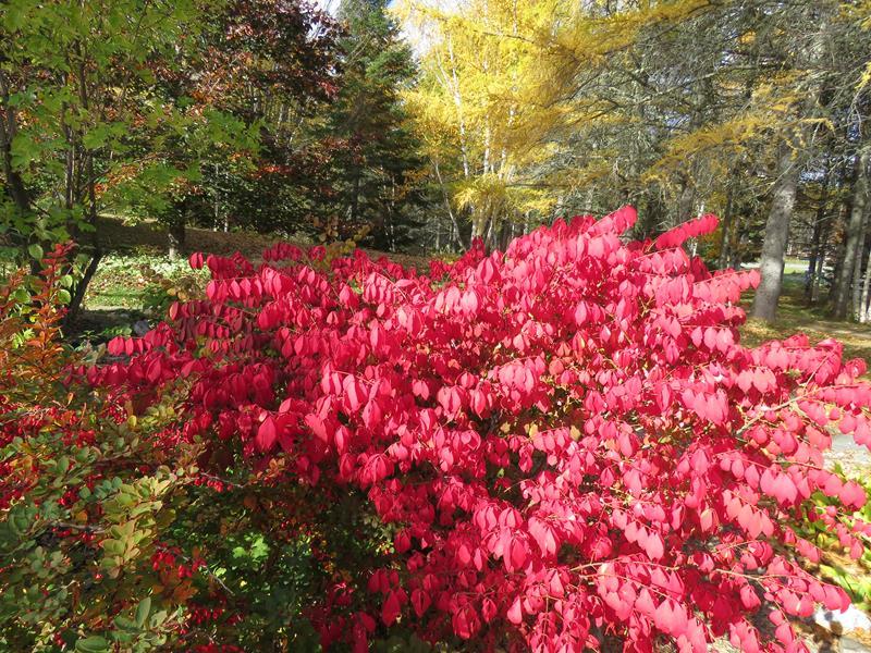 Vivaces au beau feuillage d'automne - Page 2 Arbust10