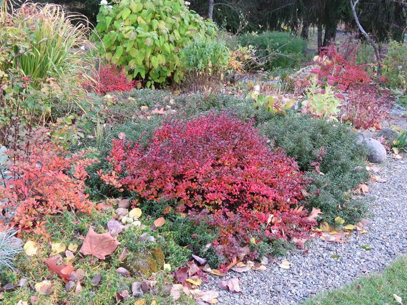 Vivaces au beau feuillage d'automne - Page 2 Arbust11