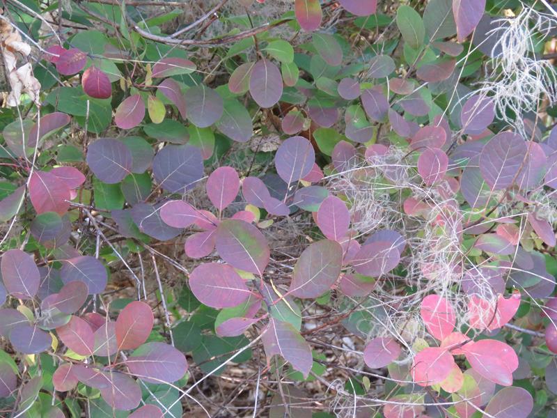 Vivaces au beau feuillage d'automne - Page 2 Arbust13