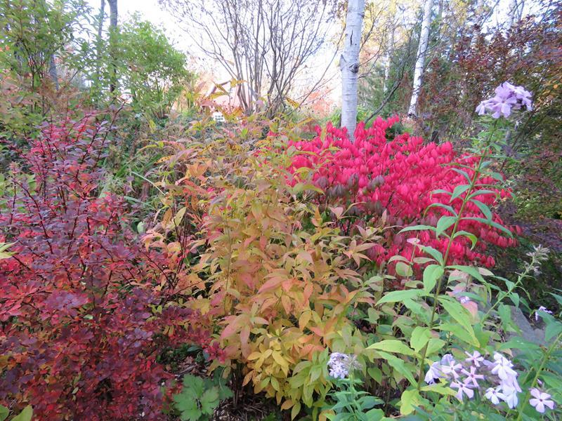 Vivaces au beau feuillage d'automne - Page 2 Arbust14