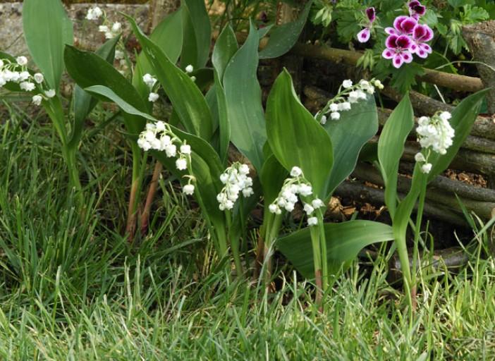 Photos de printemps/été - Page 5 Muguet10
