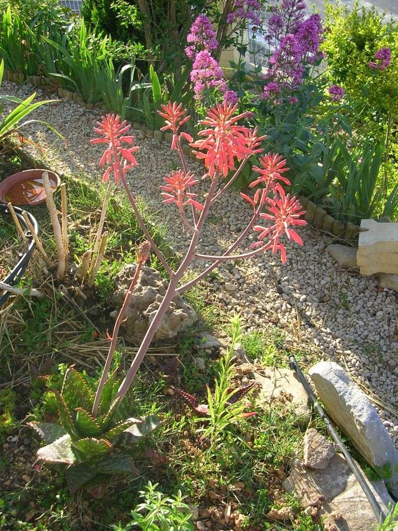 Aloe milottii en fleurs, avant de ranger la photo Dscn2910
