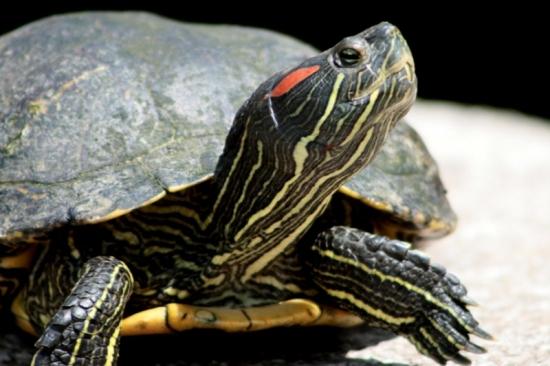 La tortue de Floride Tortue10