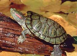 La tortue de Floride Tortue11