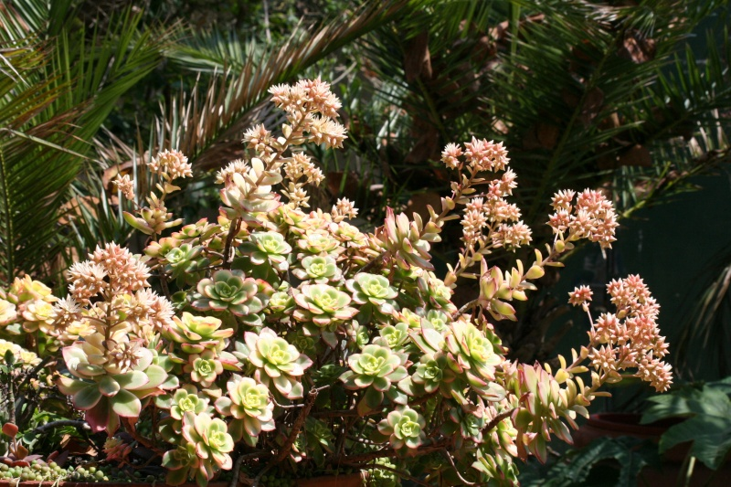 Aeonium ' Kiwi ' en fleurs Aeoniu28