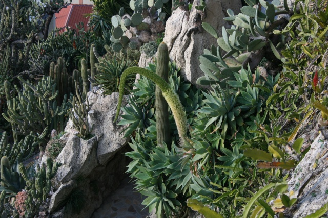 Jardin Exotique de Monaco Agave_10