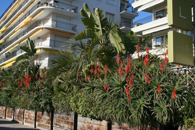 Aloe début de floraison Aloe_a10
