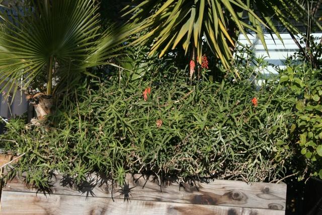 Aloe début de floraison Aloe_c11