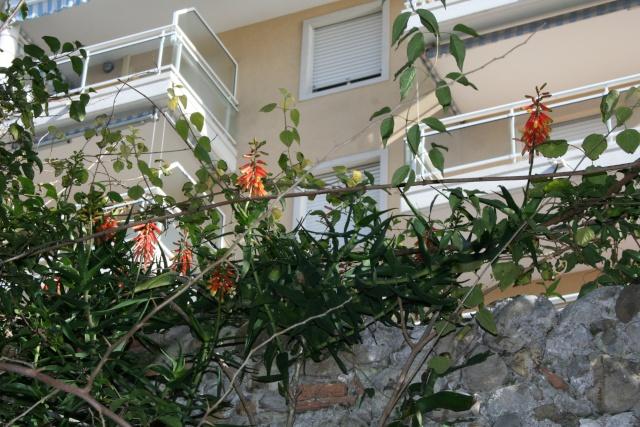 Aloe ciliaris en haut d'un mur Aloe_c16