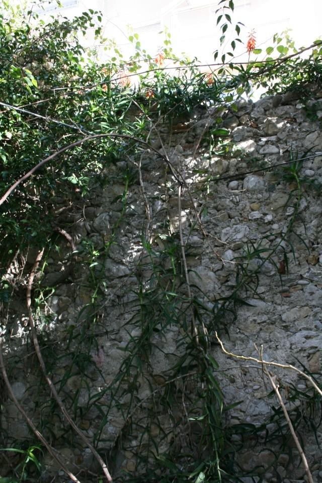 Aloe ciliaris en haut d'un mur Aloe_c18