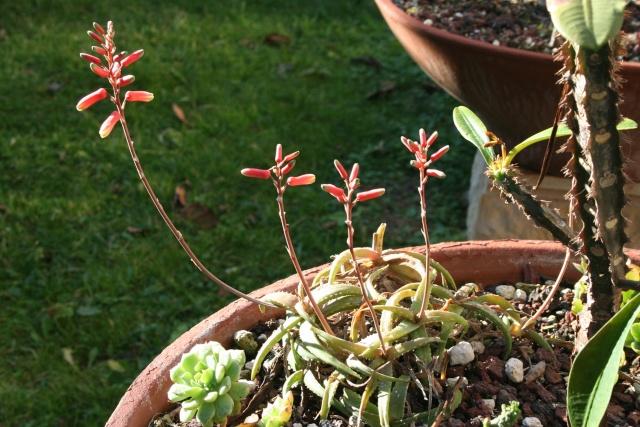 Aloe milottii, une miniature très florifère Aloe_m10