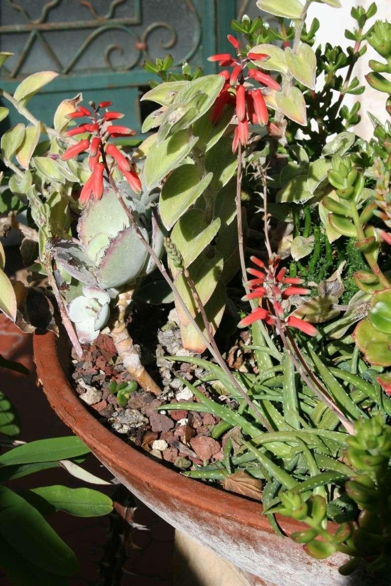 Aloe milottii en fleurs, avant de ranger la photo Aloe_m13