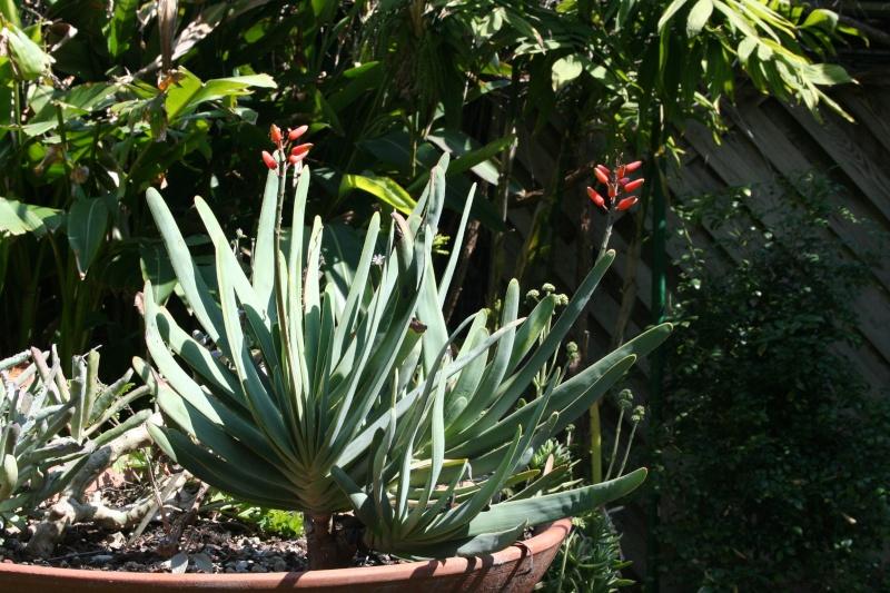 Aloe plicatilis Aloe_p11