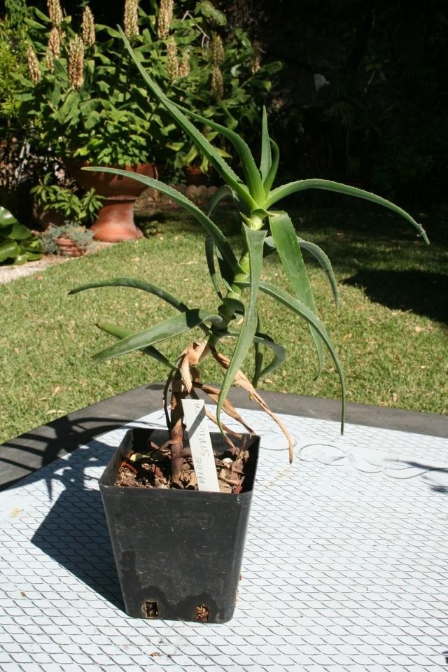 Aloe ciliaris en haut d'un mur Aloe_s12