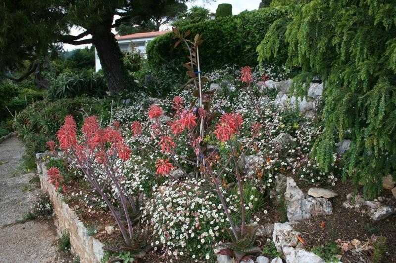Aloe milottii en fleurs, avant de ranger la photo Aloe_s14