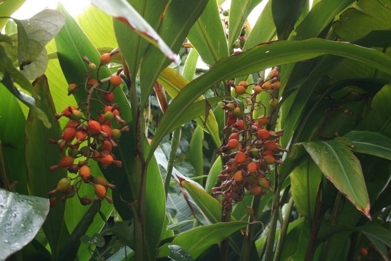Alpinia zerumbet, ses fruits Alpini11