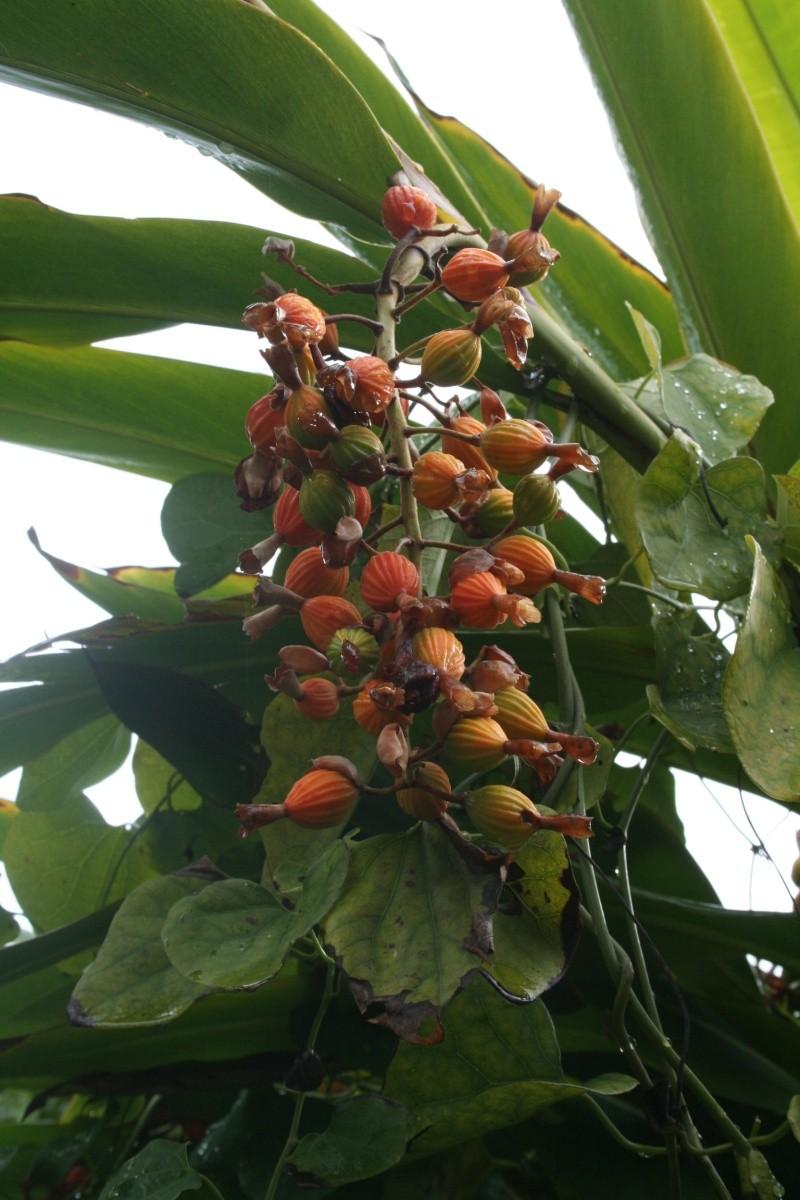 Alpinia zerumbet, ses fruits Alpini12
