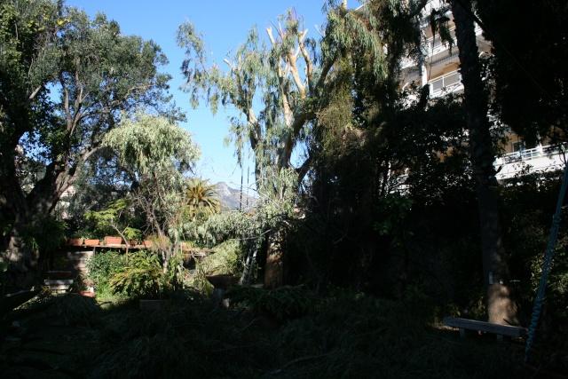 Elaguage de mon Eucalyptus Apras_10
