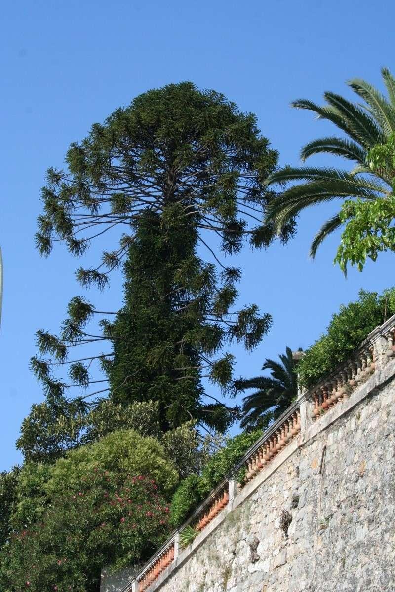 Alignements et arbres remarquables à Menton, ce matin Arauca10