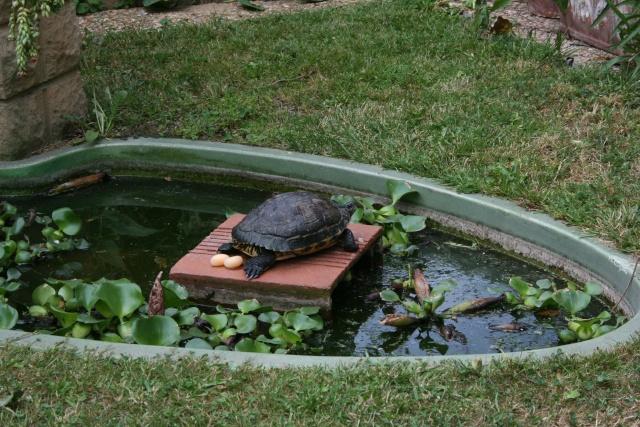 Surprise chez mes tortues de Floride Bassin22