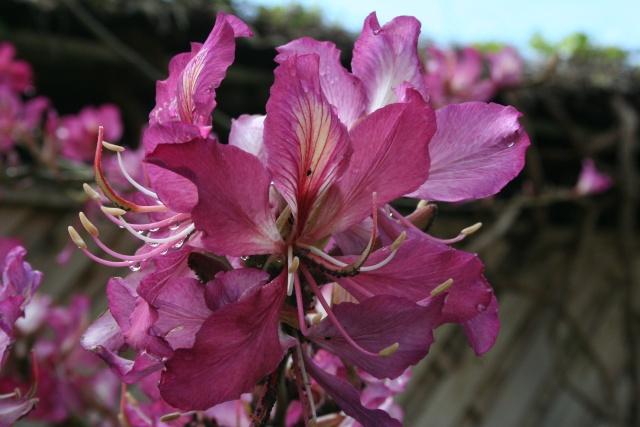 Bauhinia variegata alba Bauhin11
