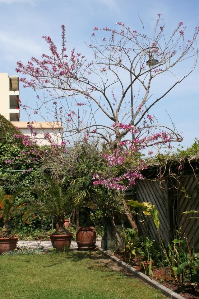Bauhinia variegata alba Bauhin12