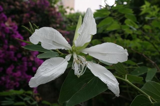Bauhinia variegata alba Bauhin13