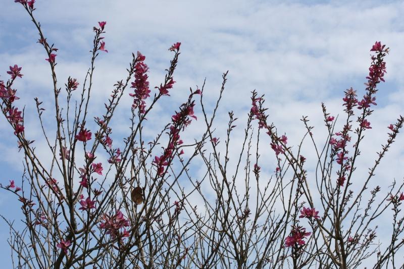 Bauhinia variegata,l'arbre aux Orchidées, en pleine floraison Bauhin15