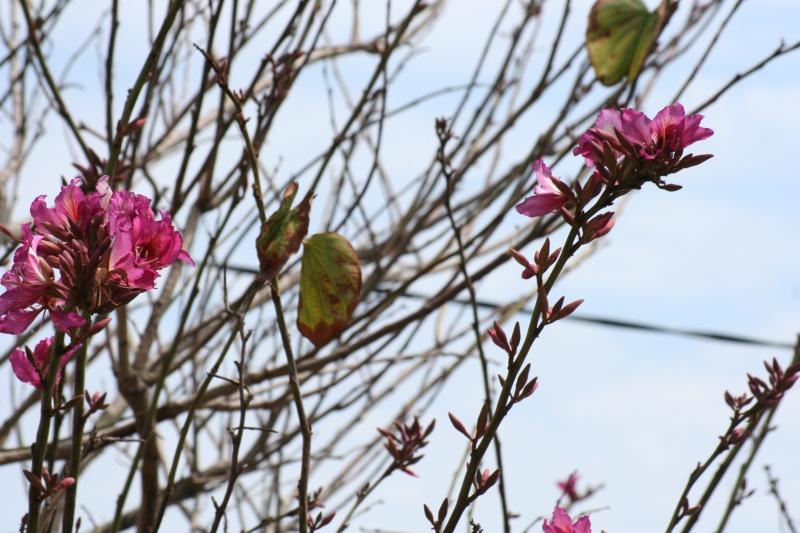 Bauhinia variegata,l'arbre aux Orchidées, en pleine floraison Bauhin16