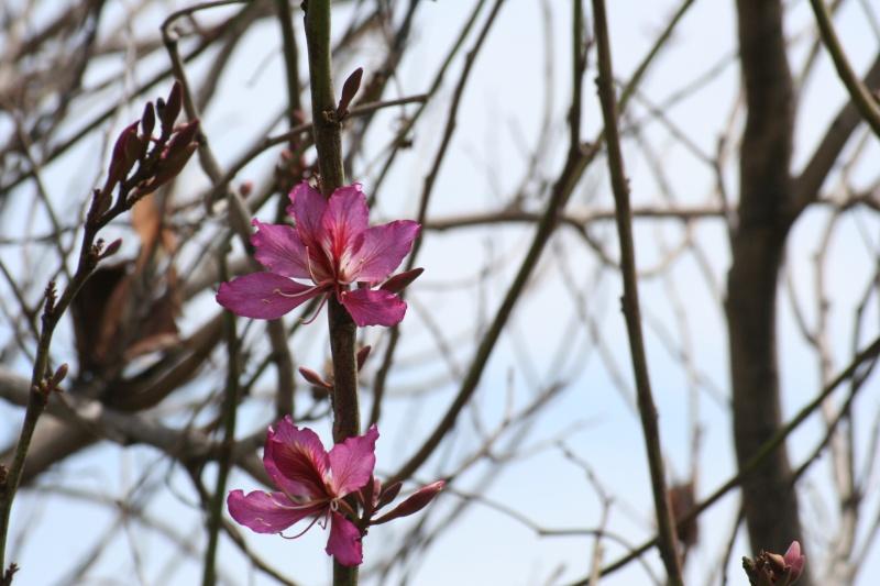 Bauhinia variegata,l'arbre aux Orchidées, en pleine floraison Bauhin17