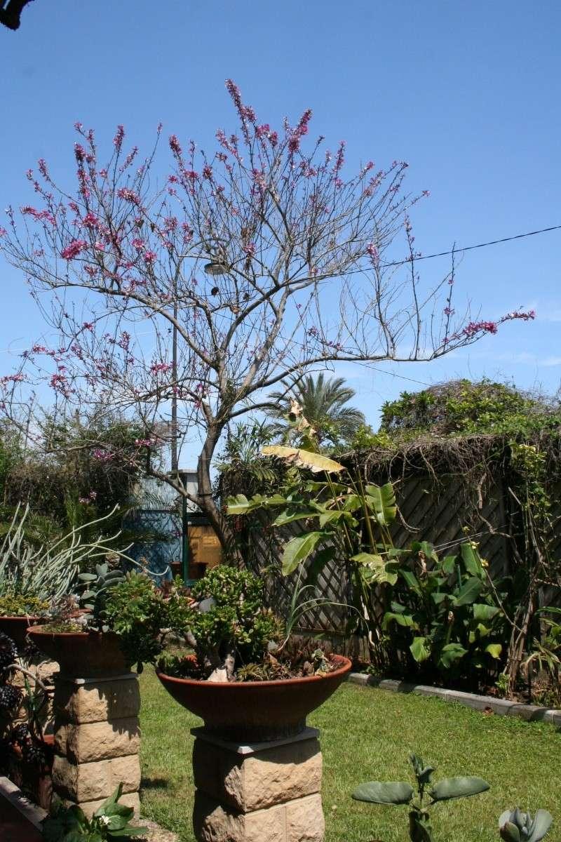 Bauhinia variegata,l'arbre aux Orchidées, en pleine floraison Bauhin21