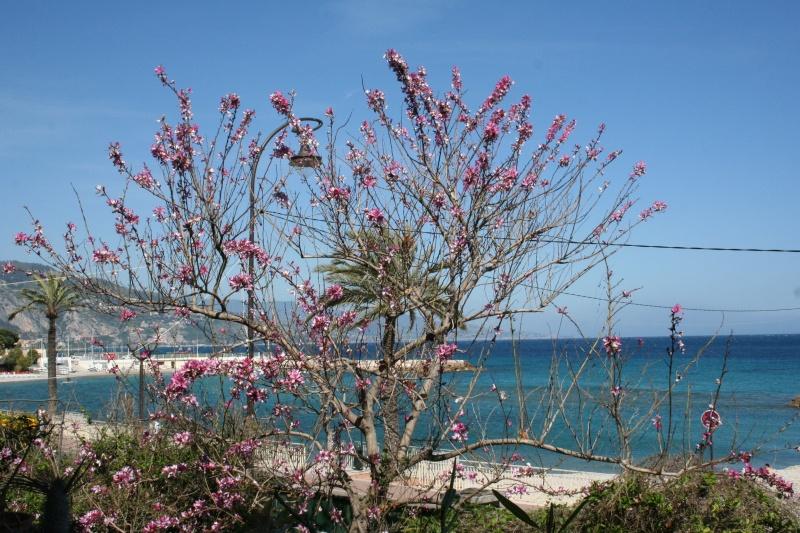 Bauhinia variegata,l'arbre aux Orchidées, en pleine floraison Bauhin25