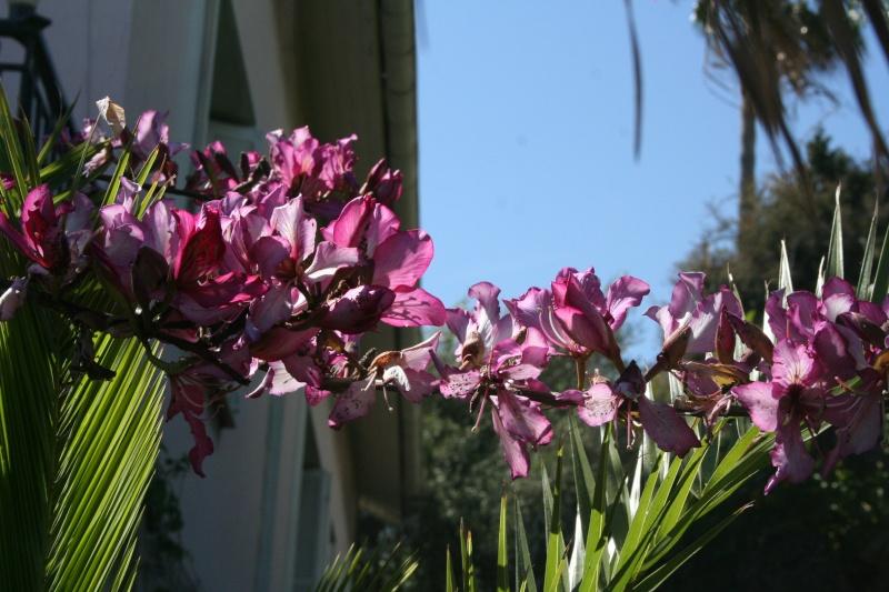 Bauhinia variegata,l'arbre aux Orchidées, en pleine floraison Bauhin26