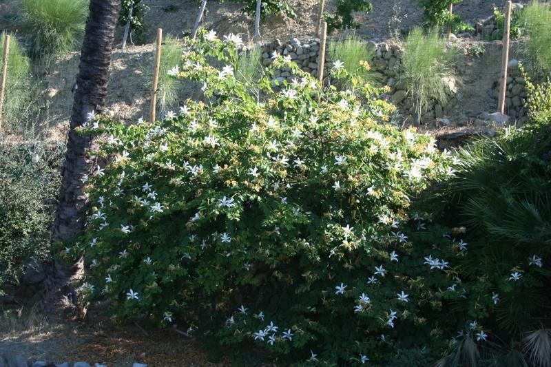 Bauhinia variegata,l'arbre aux Orchidées, en pleine floraison Bauhin27