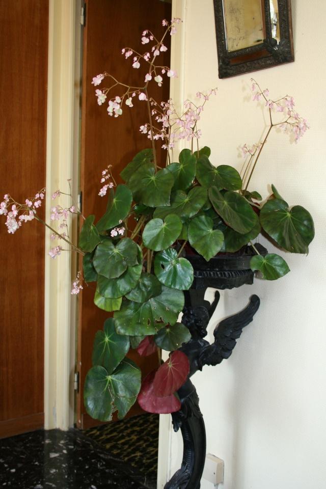 Mon B. x erythrophylla avant sa sortie Begoni10