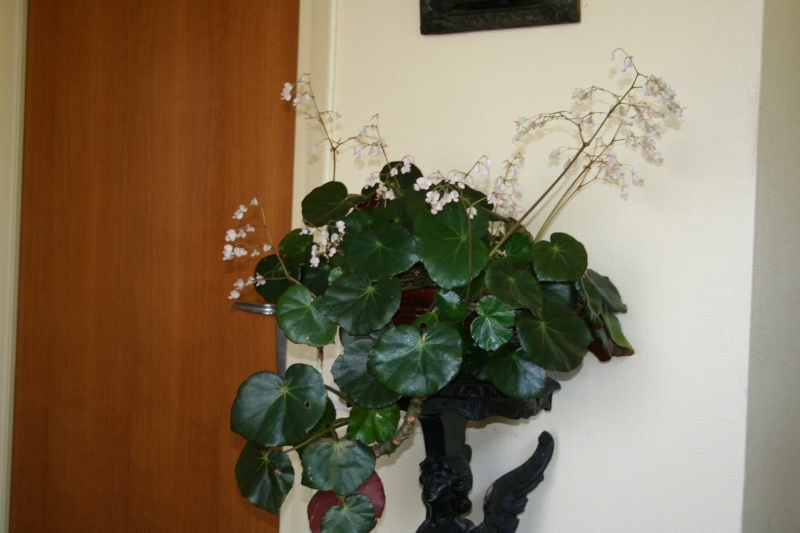 Begonia x erythrophylla dans mon entrée Begoni11