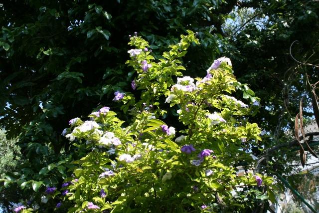 Brunfelsia australis, le Jasmin du Paraguay Brunfe11