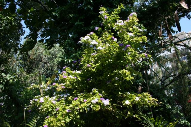 Brunfelsia australis, le Jasmin du Paraguay Brunfe12