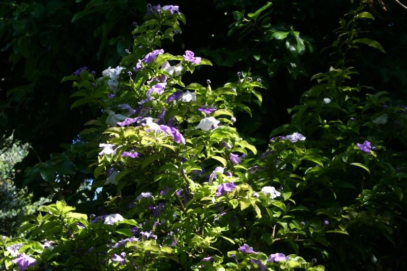 Brunfelsia australis, il a toutes les qualités Brunfe13