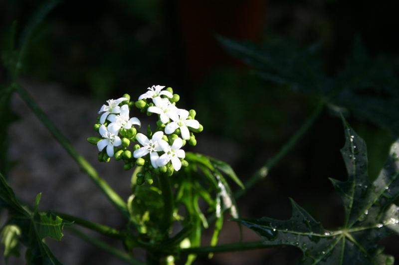 question bete colocasia Carica11