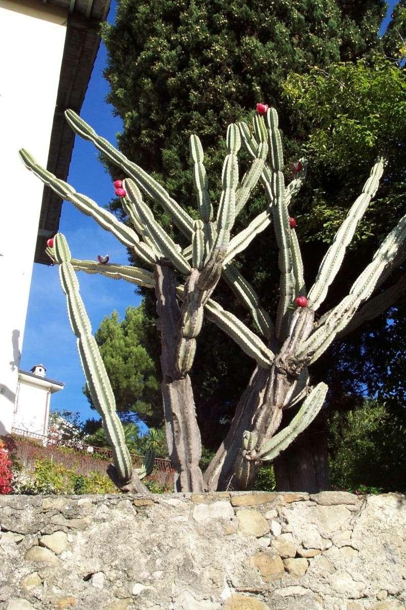 Cereus peruvianus Cereus10