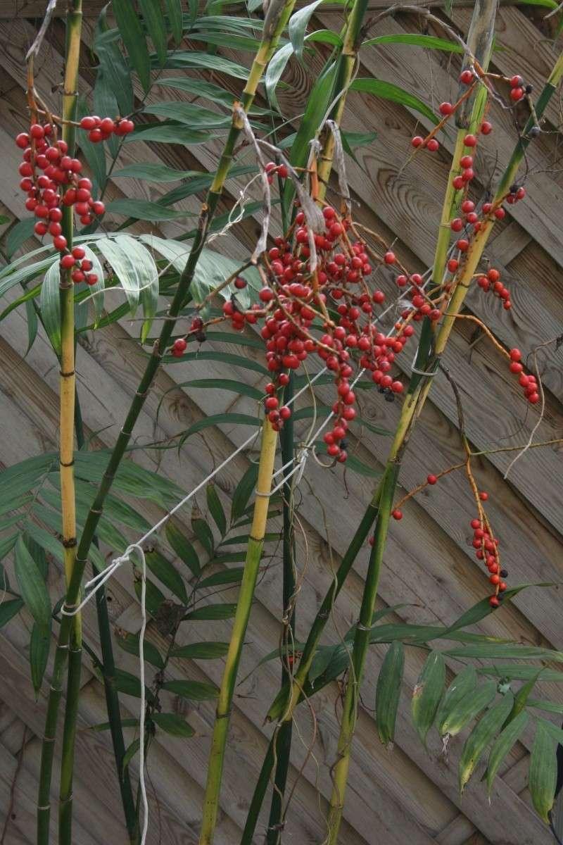 Jolies choses dans le jardin, Clivia et autres Chamae15