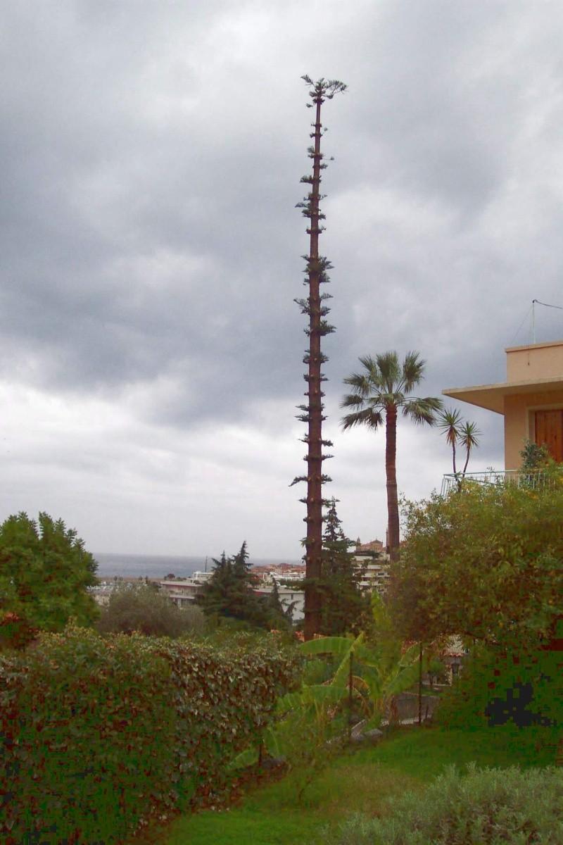 Conifère exotique (Araucaria heterophylla). Chez_h12