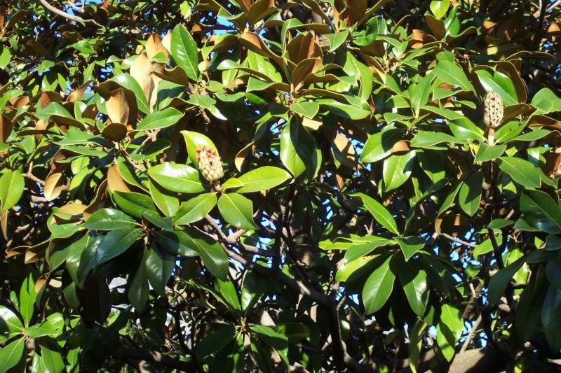 magnolia Chez_h14