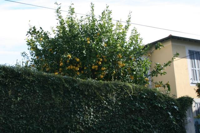 Agrumes autour de chez moi en cette fin février 2010 Citron15