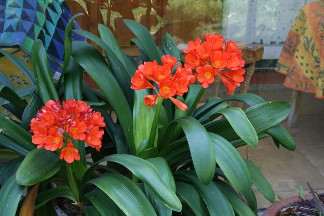 Splendeurs de mon jardin de la mi avril Clivia10