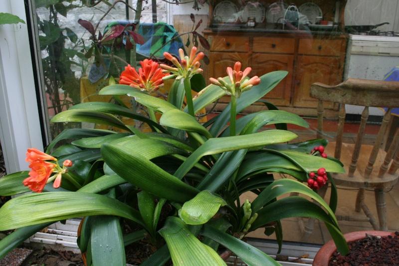 Jolies choses dans le jardin, Clivia et autres Clivia18