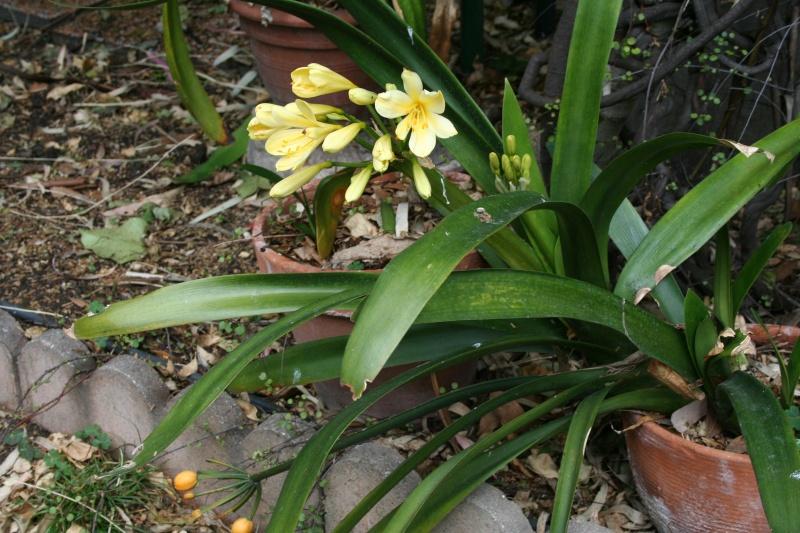 Jolies choses dans le jardin, Clivia et autres Clivia19